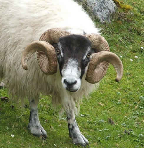 black faced ram  outer