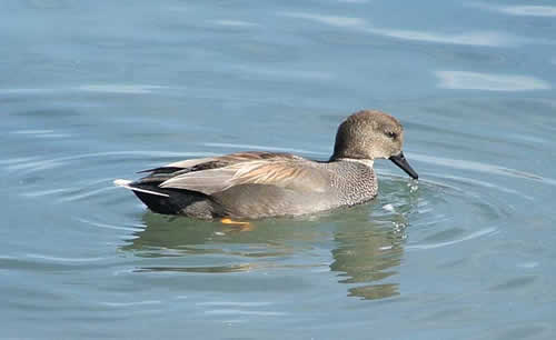 Photographs of ducks, swans, geese, grebes, coots, etc.